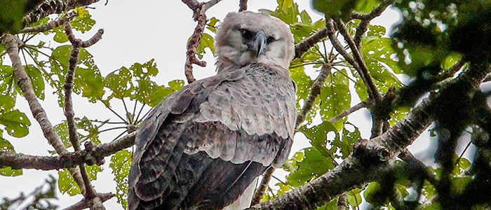 Harpy Eagle sitting in a tree